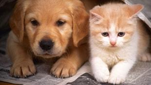 Kediler böbrek, köpekler kalpten şikayetçi!