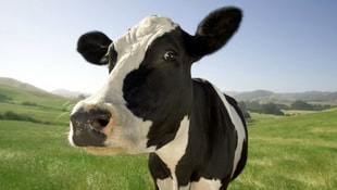 Hollandaya ilginç tepki! 40 inek sınır dışı edildi