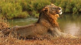 Kaçak avcıyı aslanlar yedi, geriye sadece kafası kaldı