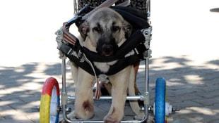 Ayakları kesilen köpeğe hayat tamircisinden yürüteç