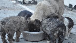 Uludere'de sokak hayvanları koruma altına alındı