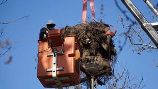 Kesilen ağaçtaki leylek yuvasını TREDAŞ direği taşıyacak