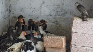 Serçe avlarken kümeste mahsur kalan atmaca kurtarıldı