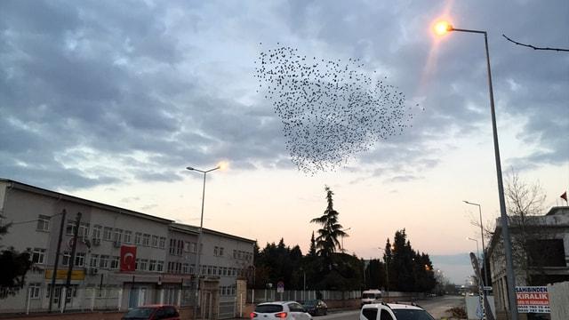 Sakarya'da sığırcık kuşlarının dansı