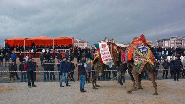 Yargıtay Başkanı Cirit deve güreşlerini izledi